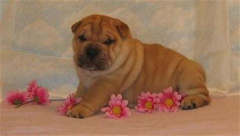 ori pei puppies for sale ori pei puppies for sale