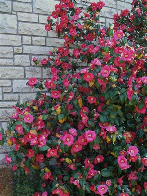 camellia flowering shrub 180 best images about shrubs trees on