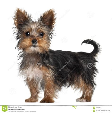 8 week yorkie puppies terrier puppy 8 weeks standing stock