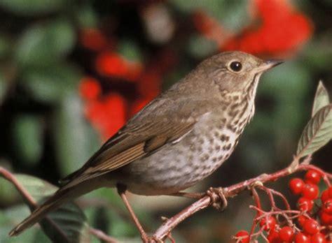 female thrush bird funny animal