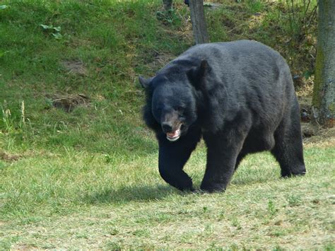 Asian Black Bear - Pictures, Diet, Breeding, Life Cycle ...