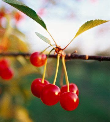 cherry tree b b ballyconnell best 25 cherry tree ideas on planting cherry trees growing cherry trees and cherry