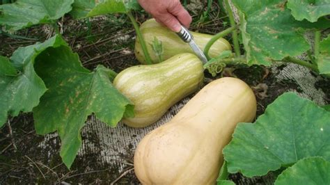 10 Tips On Growing Great Plants This Summer by 10 Useful Tips To Growing Squash Learn How To Grow Summer