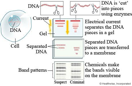 diagram of dna fingerprinting dna fingerprinting in a criminal investigation