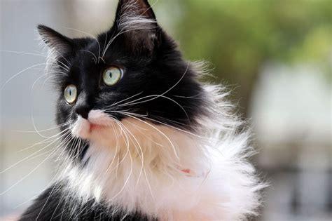 Black And White Menu by 9 Reasons Tuxedo Cats Rock The Purrington Post