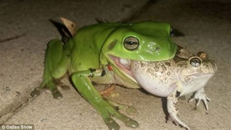 what do backyard frogs eat lismore man photographs a green tree frog eating an ornate