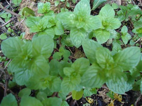 plantas medicinales recetas de plantas medicinales seodiving com