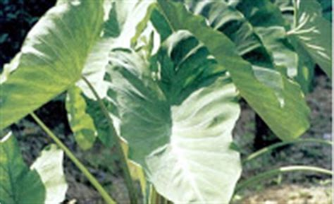 borneo etnik  budaya tumbuhan obat suku dayak borneo