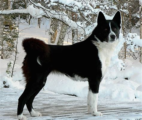karelian puppy karelian dogs breeds pets