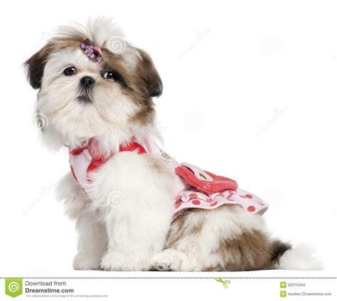 shih tzu 5 months shih tzu puppy dressed up 3 months sitting stock