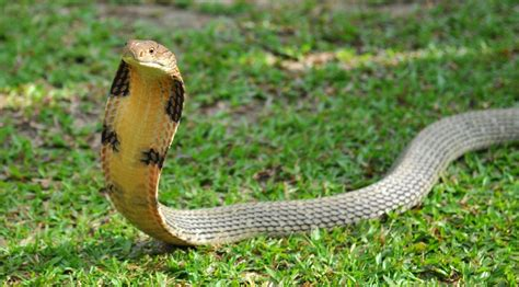 king cobra images king cobra ophiophagus about animals