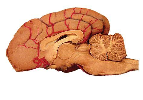 brain for dogs brain anatomy