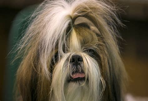 shih tzu type dogs shih tzu breed information pictures characteristics facts dogtime