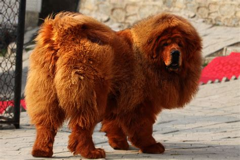 tibetan mastiff price tibetan mastiff sells for 16 million yuan s daily