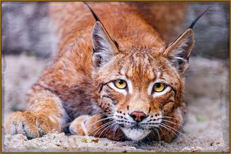 imagenes impactantes de felinos imagenes animadas de gatos para descargar archivos fotos