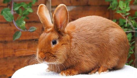 conejo de fuego 2016 conejos para ni 241 os 10 razas perfectas para los m 225 s peque 241 os