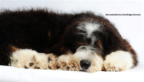 I Want A That Doesn T Shed by 44 Best Images About Bernedoodle On Poodles