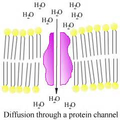 a protein channel is a transport protein that amino acids and proteins biochem101