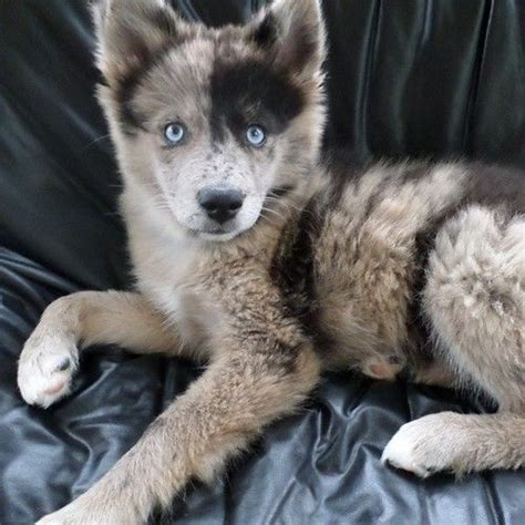 pomeranian cross husky puppies 25 best ideas about husky pomeranian mix on pomeranian husky puppies