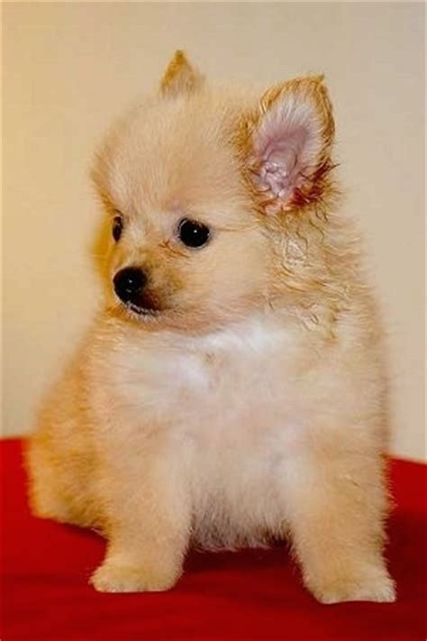 chipom puppies pomchi breed pictures 1