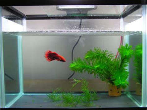 Makan Ikan Cupang Pelet jacck in blogging akuarium cupang
