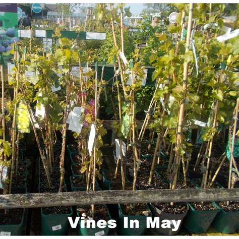 Grow Your Own Grape Vines by Collection Grow Your Own 3 Grapevines Groves Nurseries