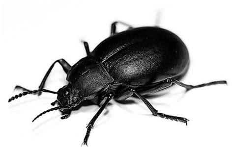 scarafaggi volanti sognare scarafaggi significato interpretazione e numeri