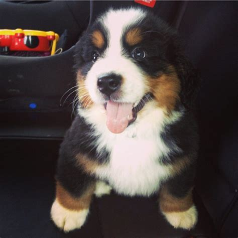 bernese puppies for sale bernese mountain puppies for sale ely cambridgeshire pets4homes