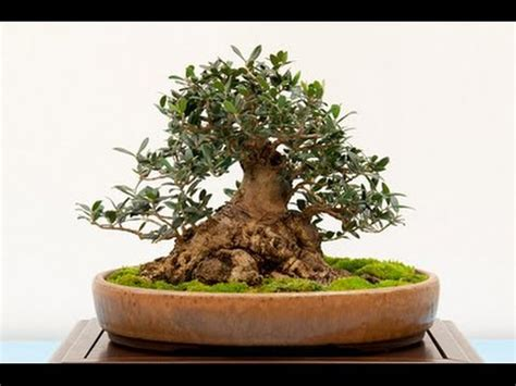 black olive bonsai care youtube