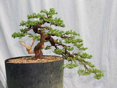Instant Bonsai Just Remove Genes by The Of Bonsai Project Instant Bonsai