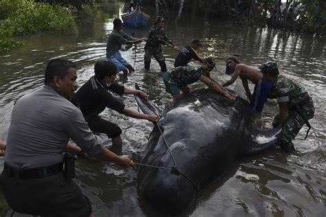 airasia ak 417 in photos dozens of whales stranded on coast of indonesia