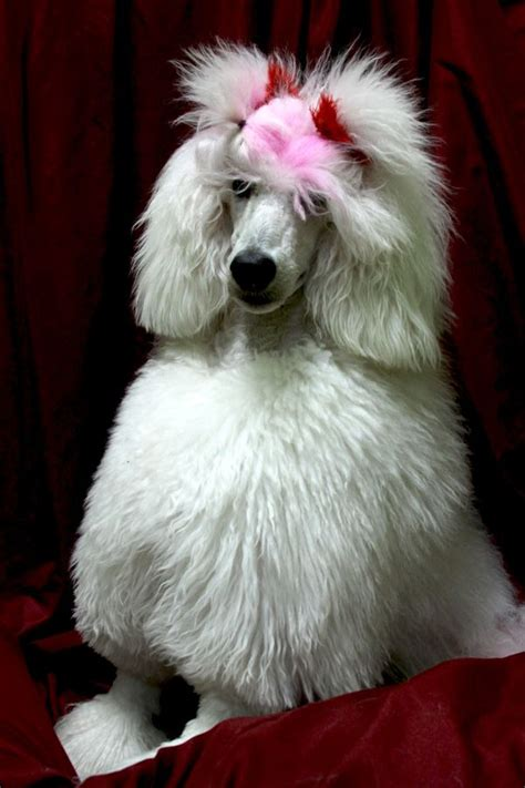 poodle with plain hair cut 51 best poodles images on pinterest