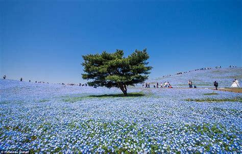 Baby Japan Blue japan s hitachi seaside park pictured in stunning photos
