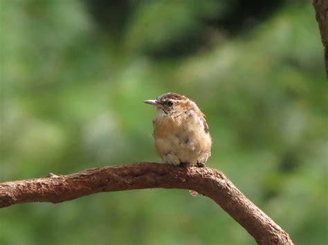 wren baby bird