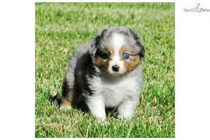 Puppies for sale the miniature australian shepherd puppies dog
