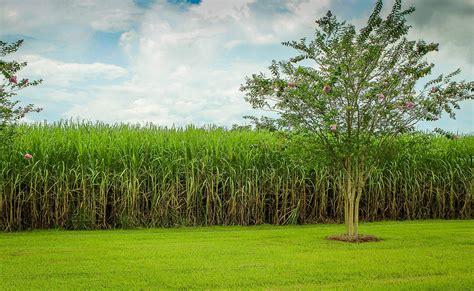 La Réunion : balade et culture dans les champs de canne à sucre   Hertz Réunion