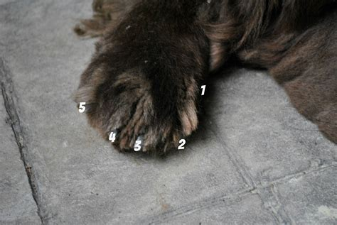 do dogs sweat through their paws 8 cool facts about paws mybrownnewfies