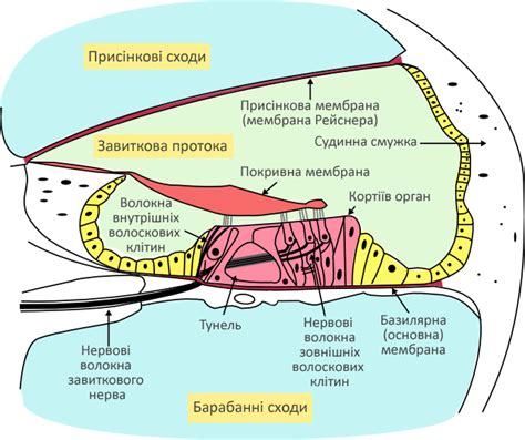 cochlea cross section file cochlea crosssection uk png wikimedia commons