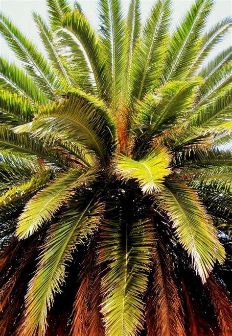 choisir palmier d ext 233 rieur le magazine gamm vert