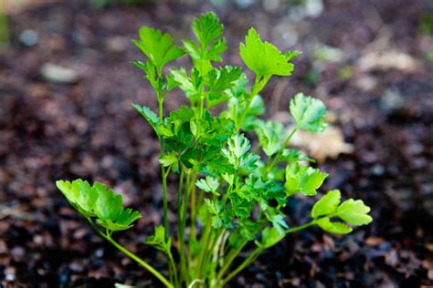 can dogs eat parsley what s the deal with parsley simplyrecipes