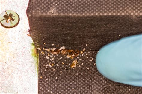 kill bed bug eggs bed bugs extermination pest control services toronto