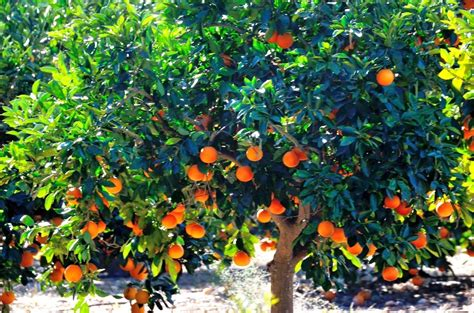 fruit trees in spain mallorca orange and orange history book mallorca