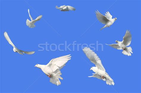 Circle Dove circle of doves stock photo 169 richard rtimages