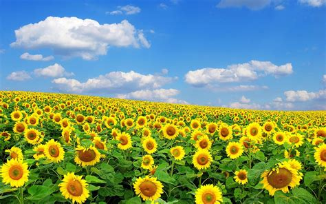 field of flowers pictures free hd sunflowers wallpapers top best hd wallpapers for desktop