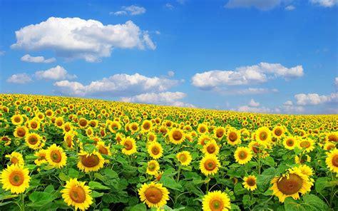wallpaper hd bunga matahari zonnebloemen achtergronden hd wallpapers