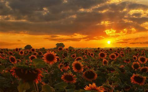 nature sunflowers wallpapers hd desktop  mobile