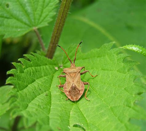 Controlling Squash Bugs Garden Guides