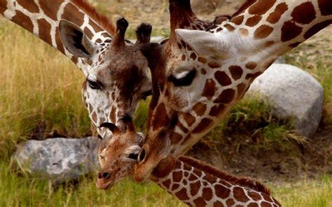 imagenes de jirafas en familia 25 conmovedores retratos familiares de animales 161 ellos