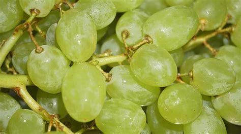 uva da tavola mix di vitamine e sali minerali l uva 232 protagonista al
