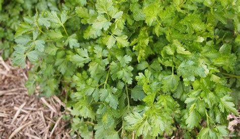 Plant De Persil by Le Persil Plat Ou Fris 233 Le Semer Le Planter Et Le